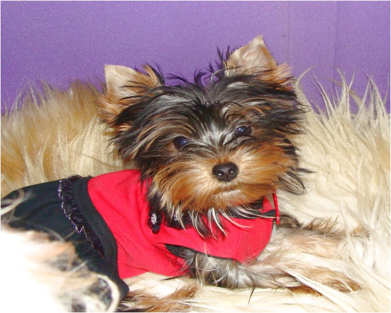 yorkshire terrier for sale calgary