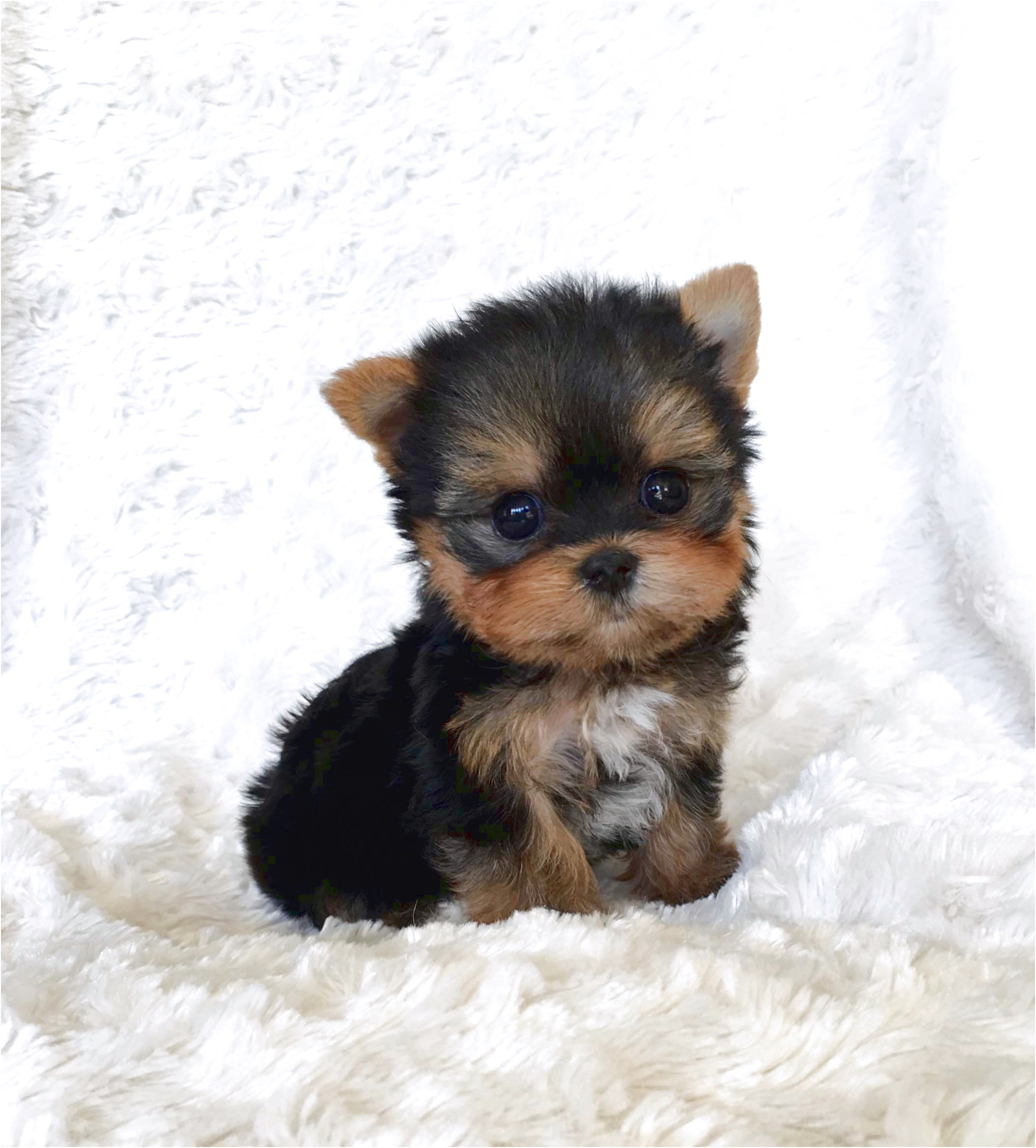 yorkshire terrier for sale california