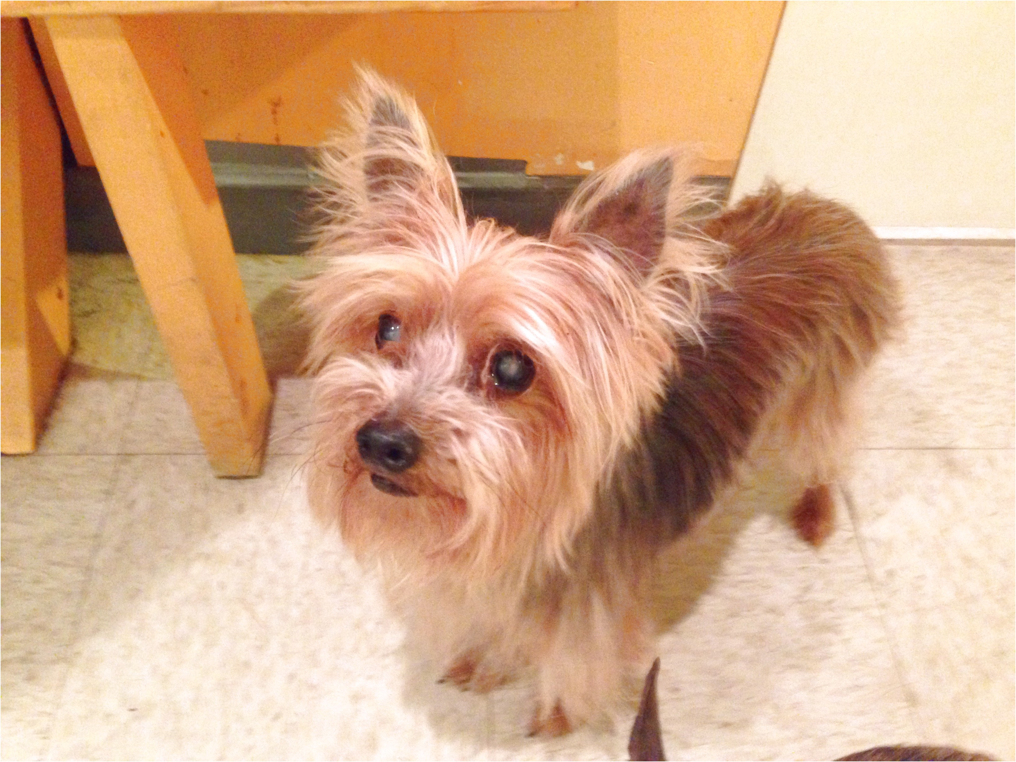 yorkshire terrier for sale charlotte nc