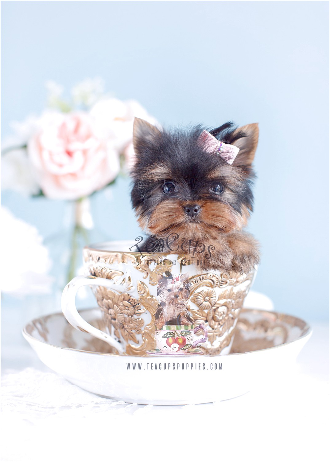 yorkshire terrier for sale cheap
