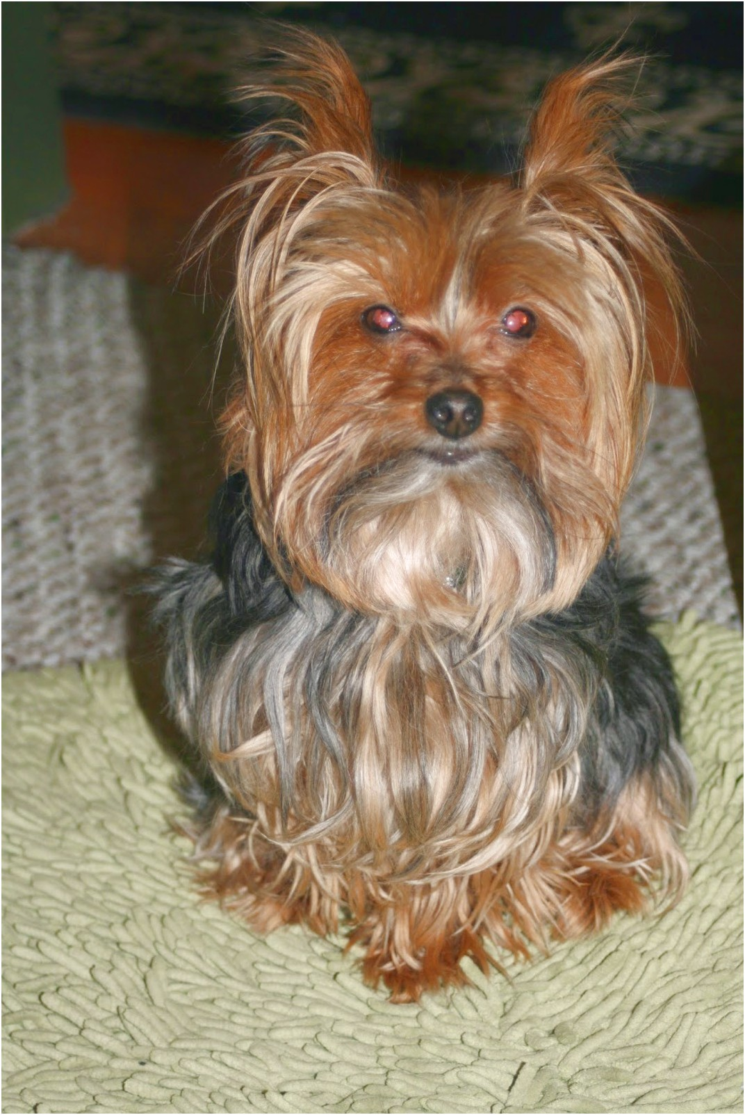 yorkshire terrier for sale chicago