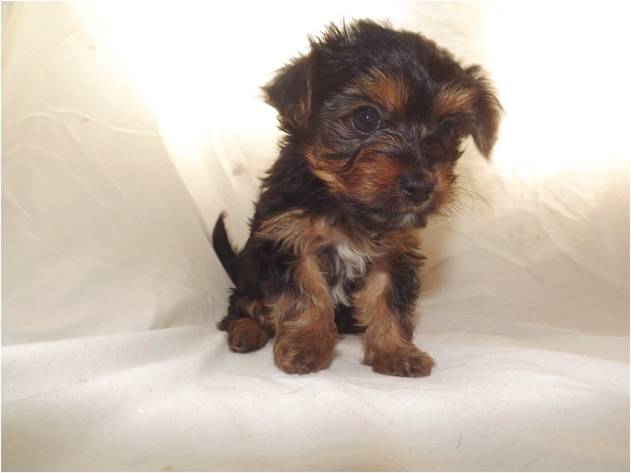 yorkshire terrier for sale colorado