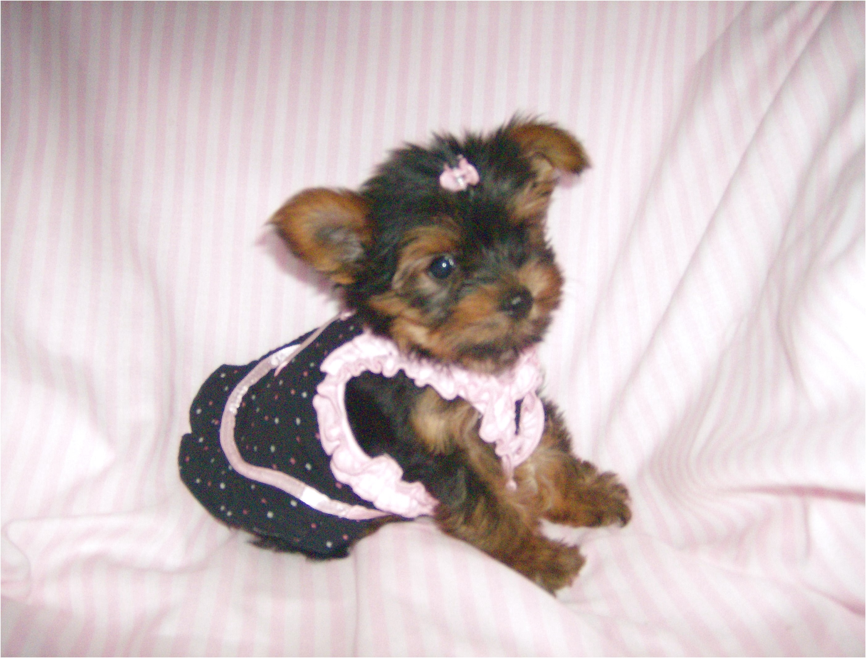yorkshire terrier for sale dallas