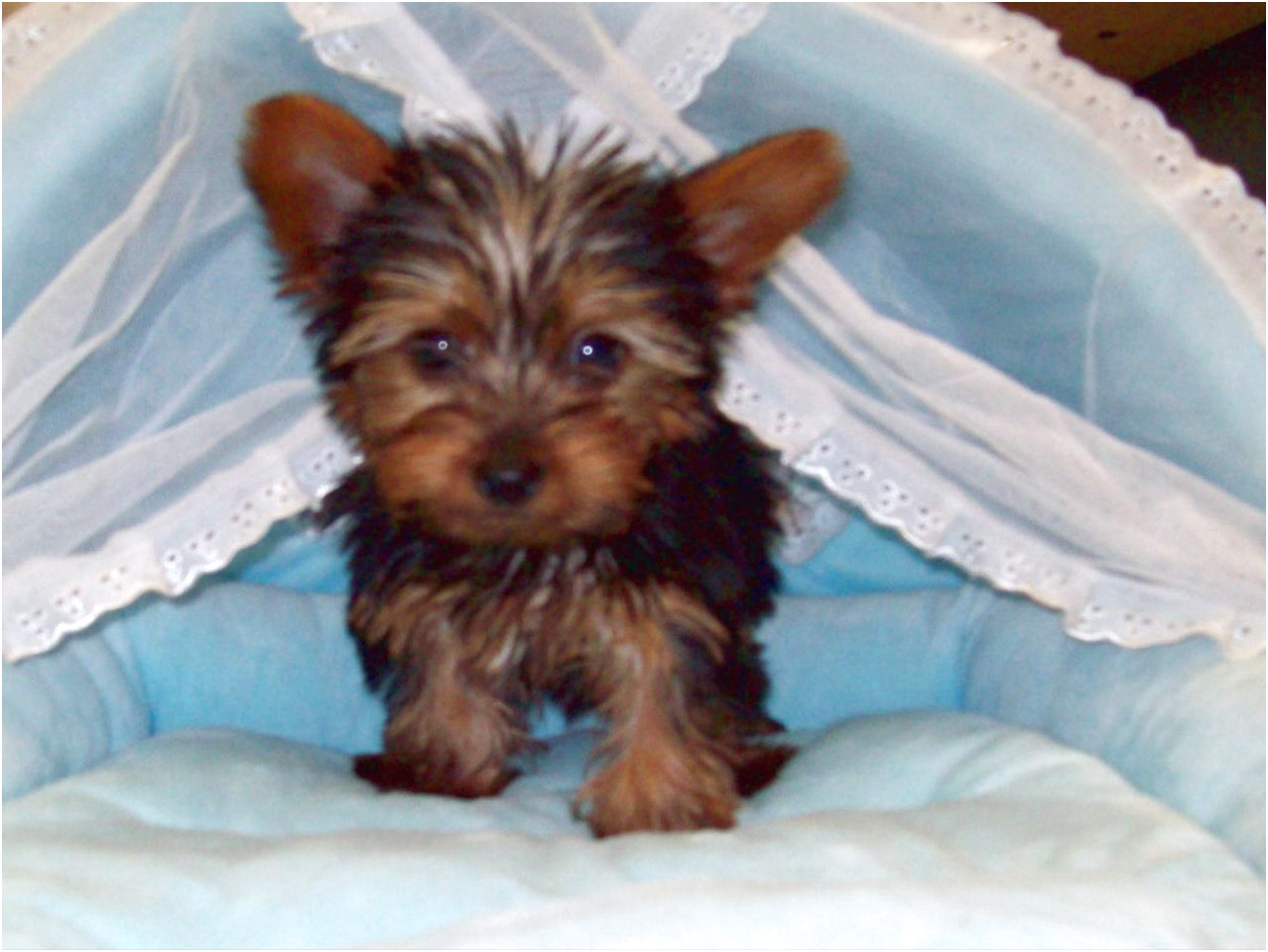 yorkshire terrier for sale denver