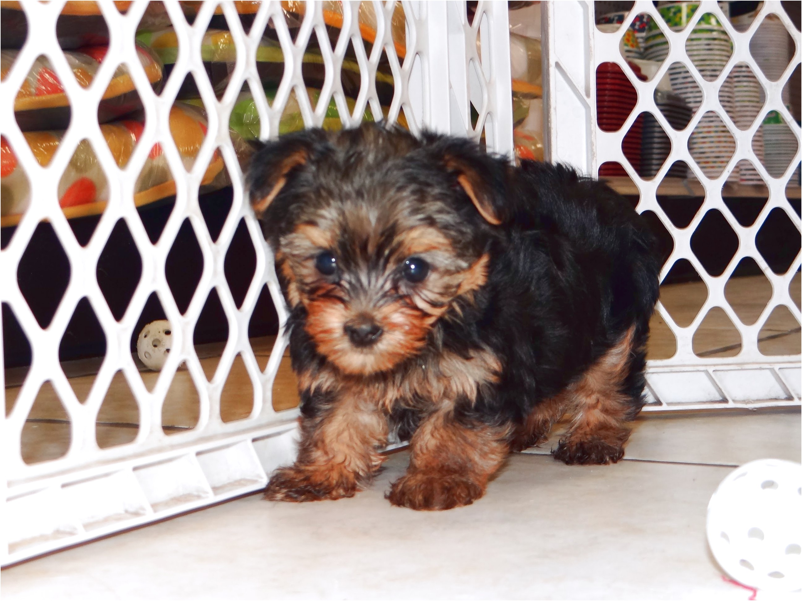 yorkshire terrier for sale derby