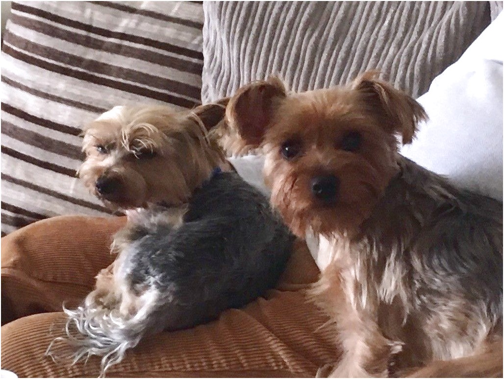 yorkshire terrier for sale devon