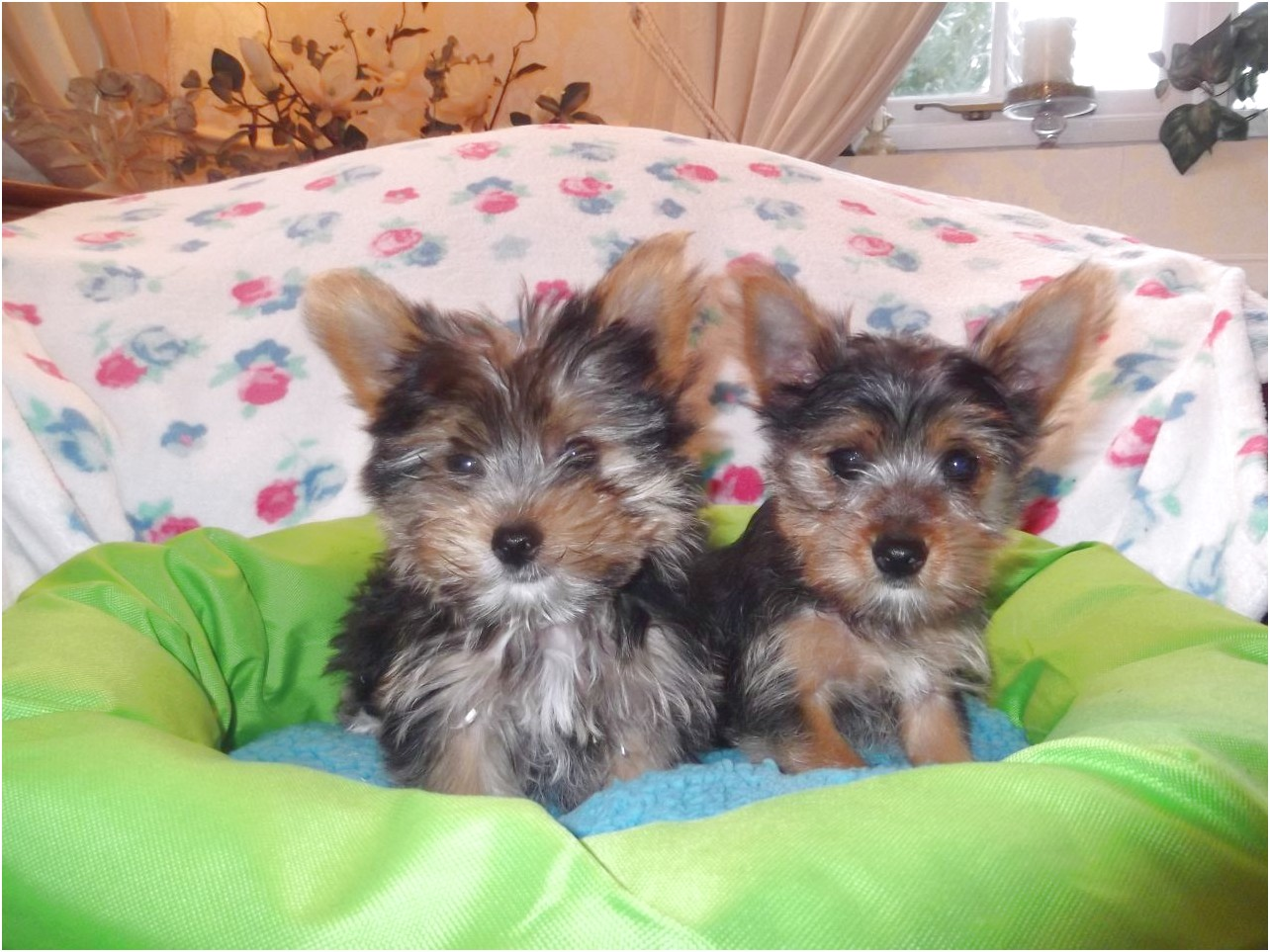 yorkshire terrier for sale east sussex