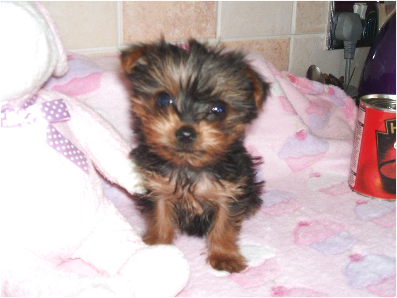 yorkshire terrier for sale england