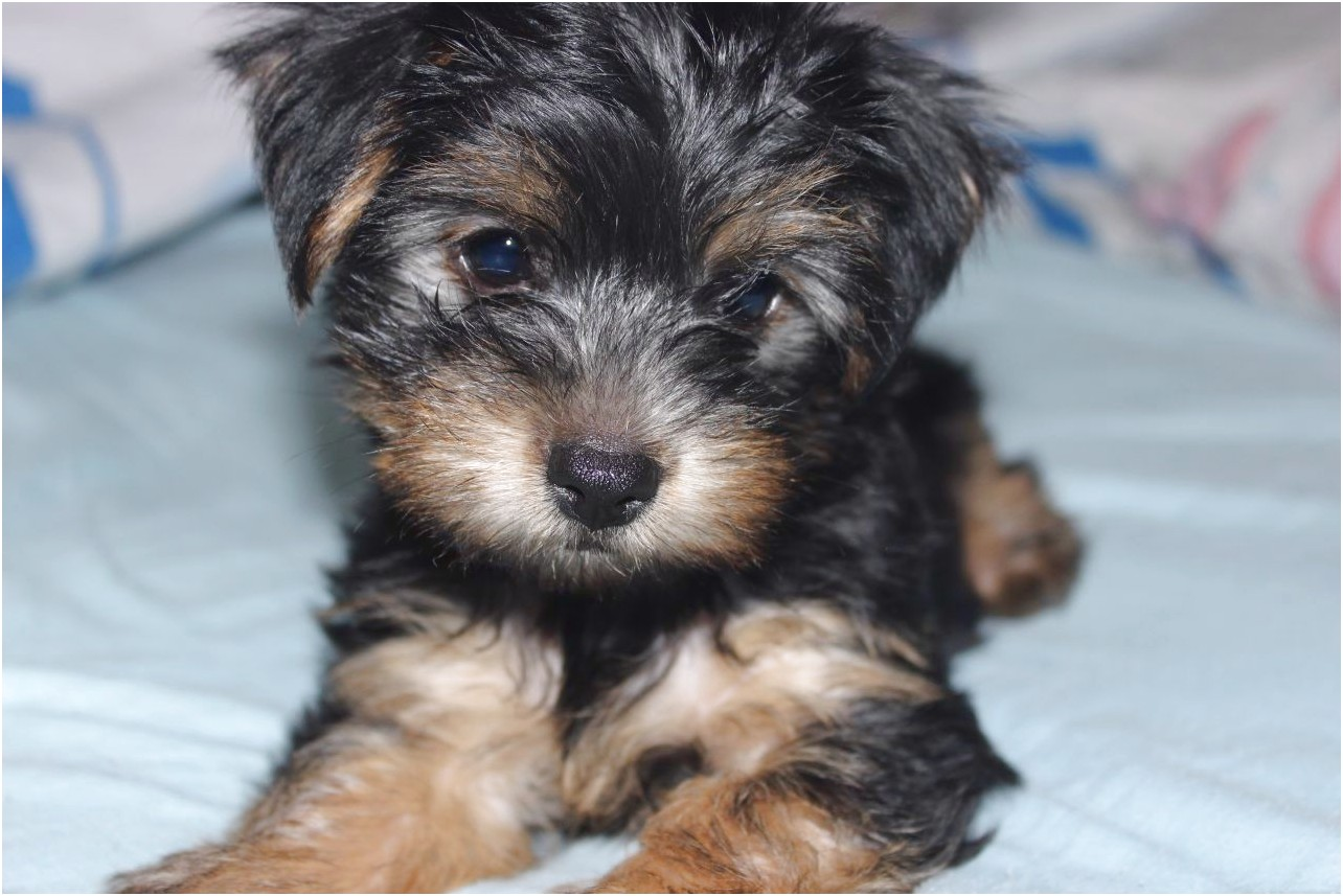 yorkshire terrier for sale essex