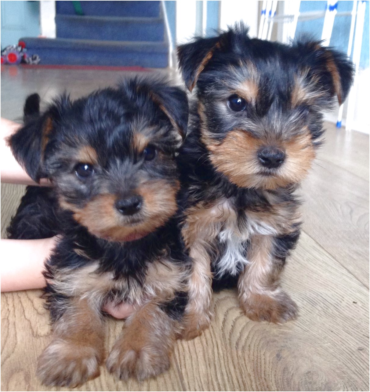 yorkshire terrier for sale glasgow