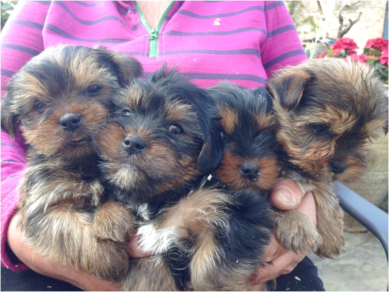 yorkshire terrier for sale gloucestershire