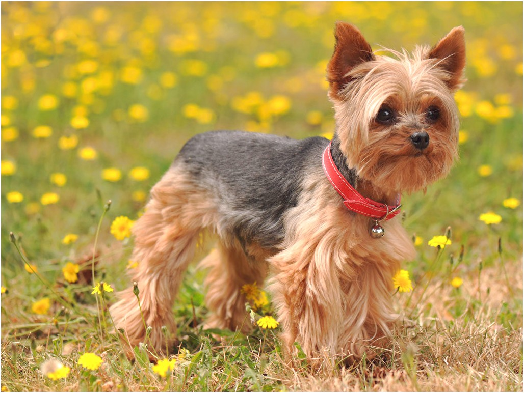 yorkshire terrier for sale gold coast