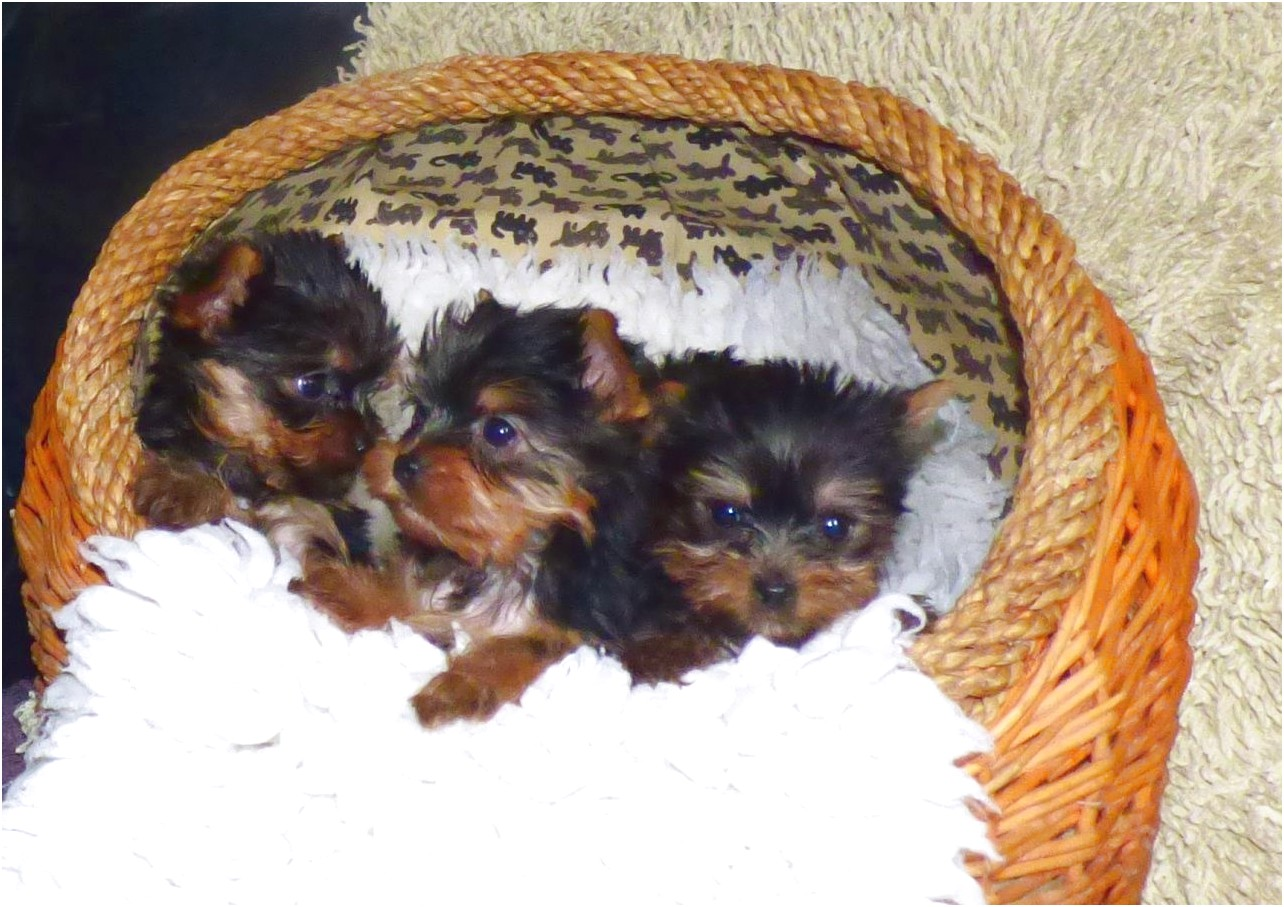 yorkshire terrier for sale hampshire