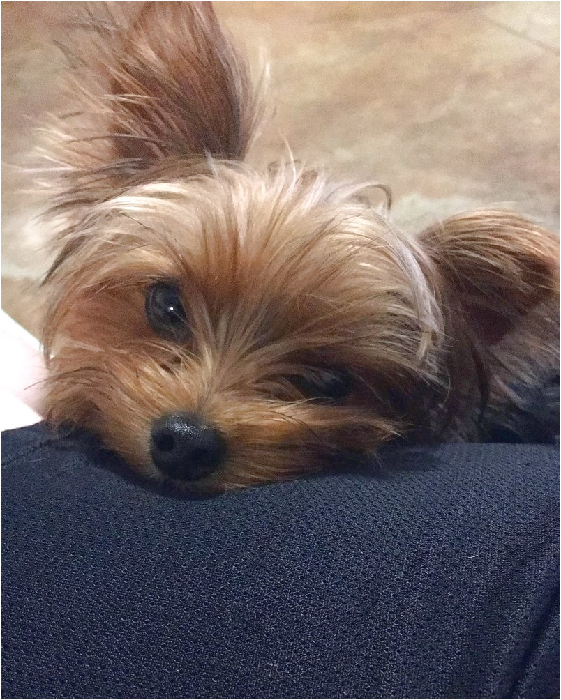 yorkshire terrier for sale hawaii