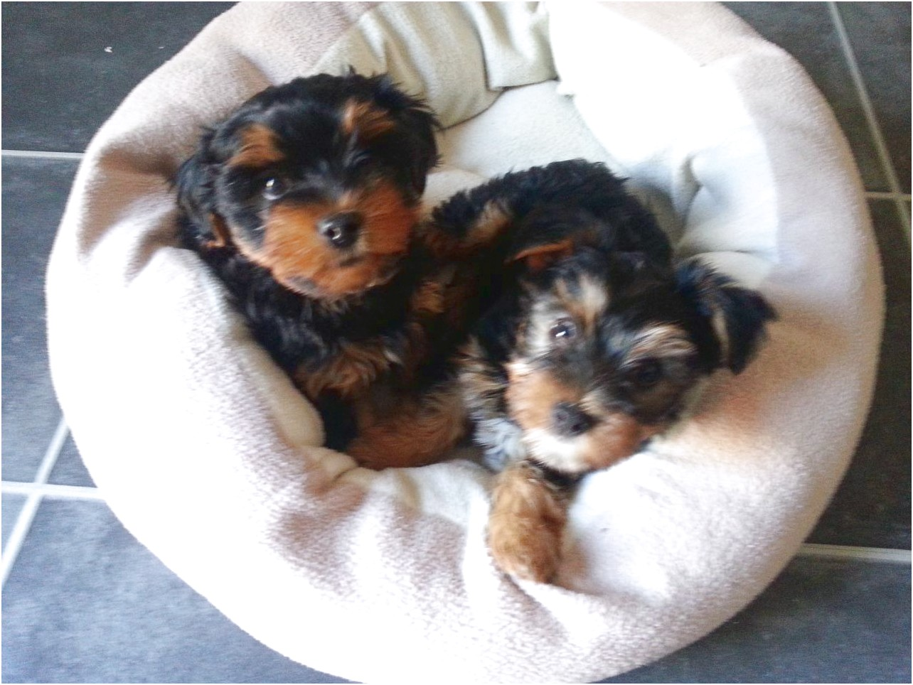 yorkshire terrier for sale herefordshire