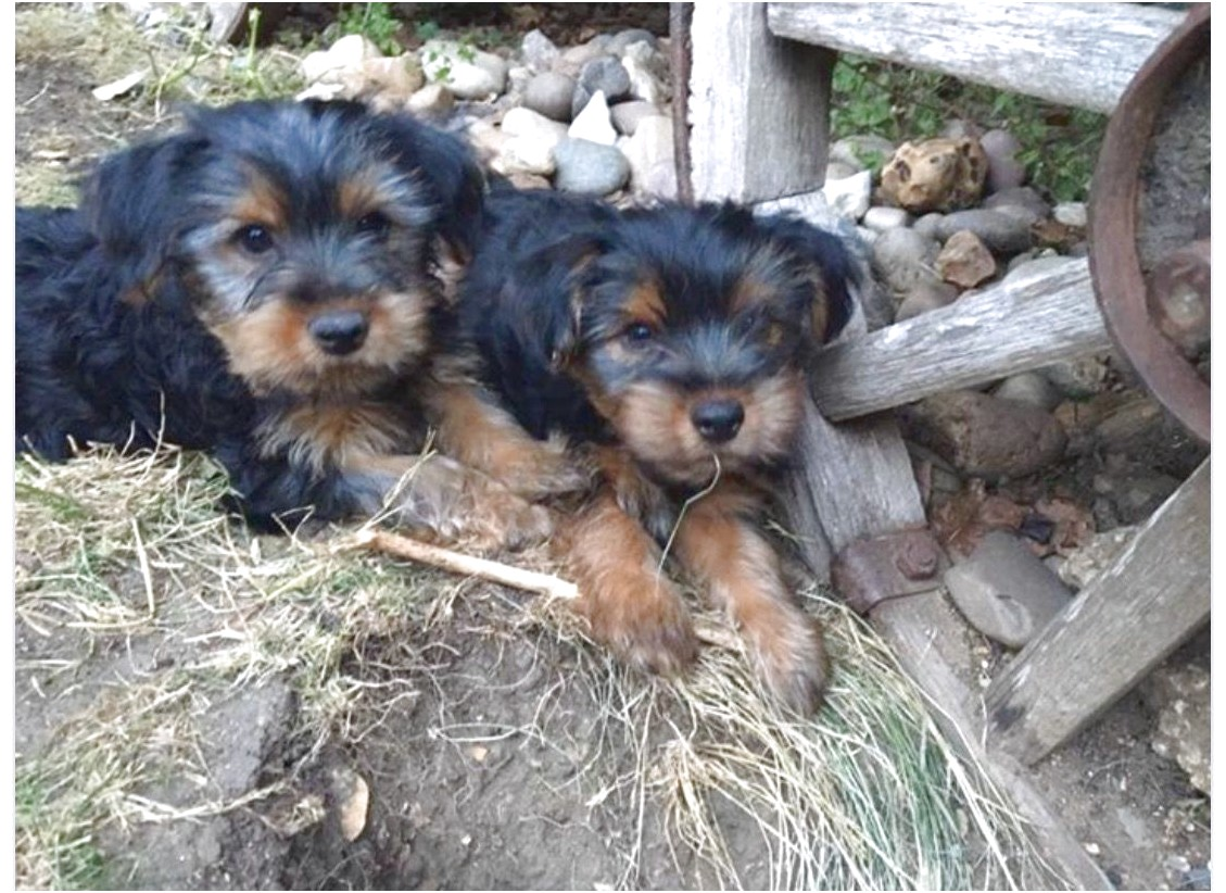 yorkshire terrier for sale hertfordshire