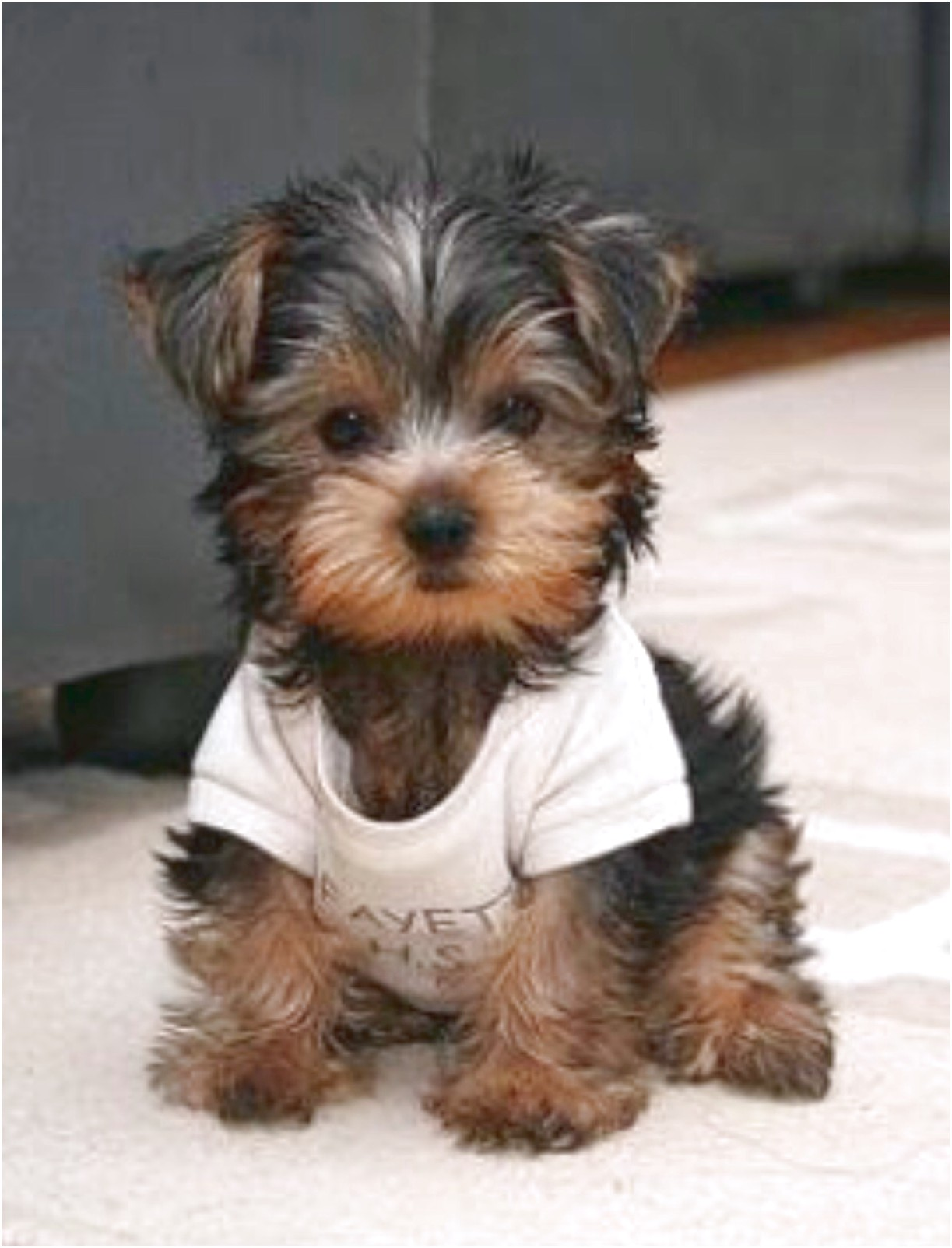 yorkshire terrier for sale houston tx