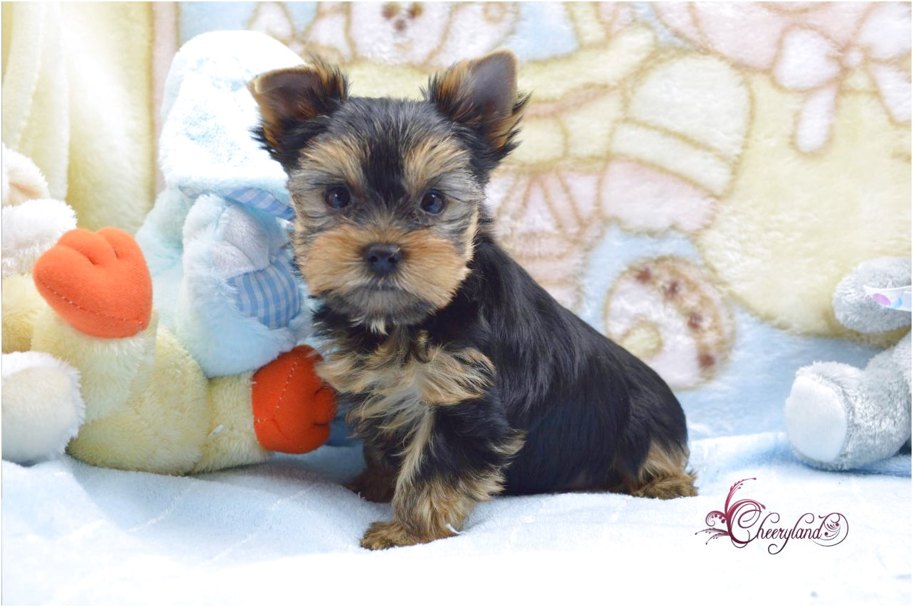 yorkshire terrier for sale hull