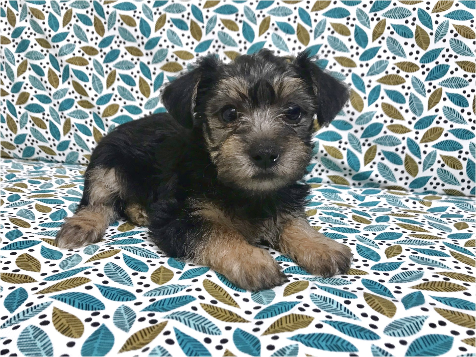 yorkshire terrier for sale jackson ms