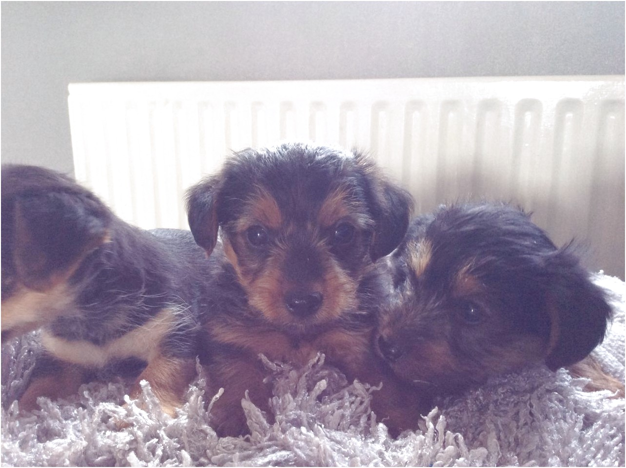 yorkshire terrier for sale kent