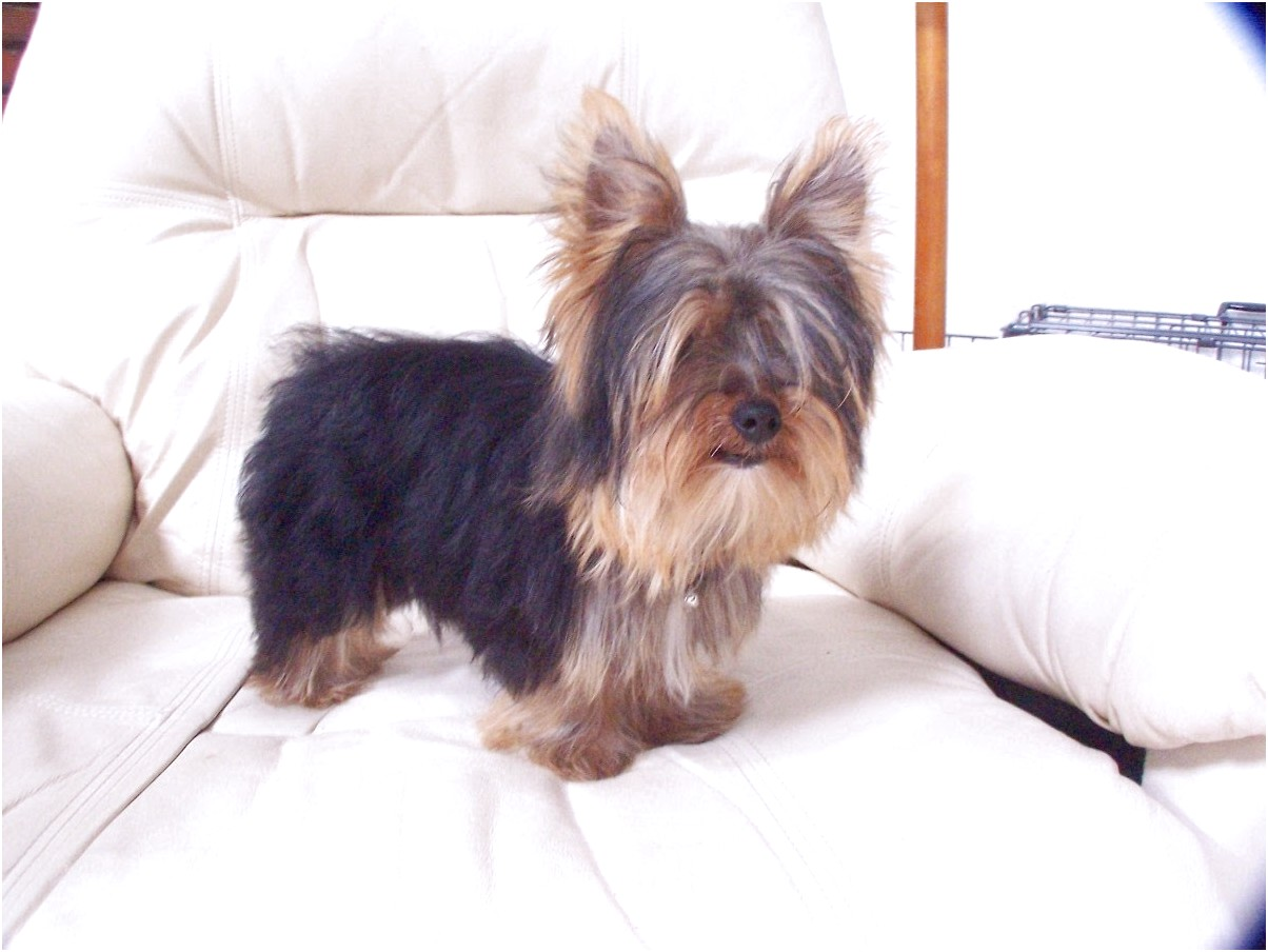 yorkshire terrier for sale knoxville tn