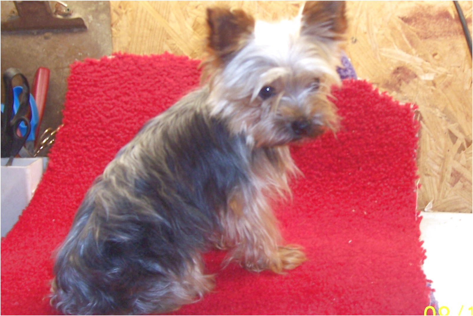 yorkshire terrier for sale ky
