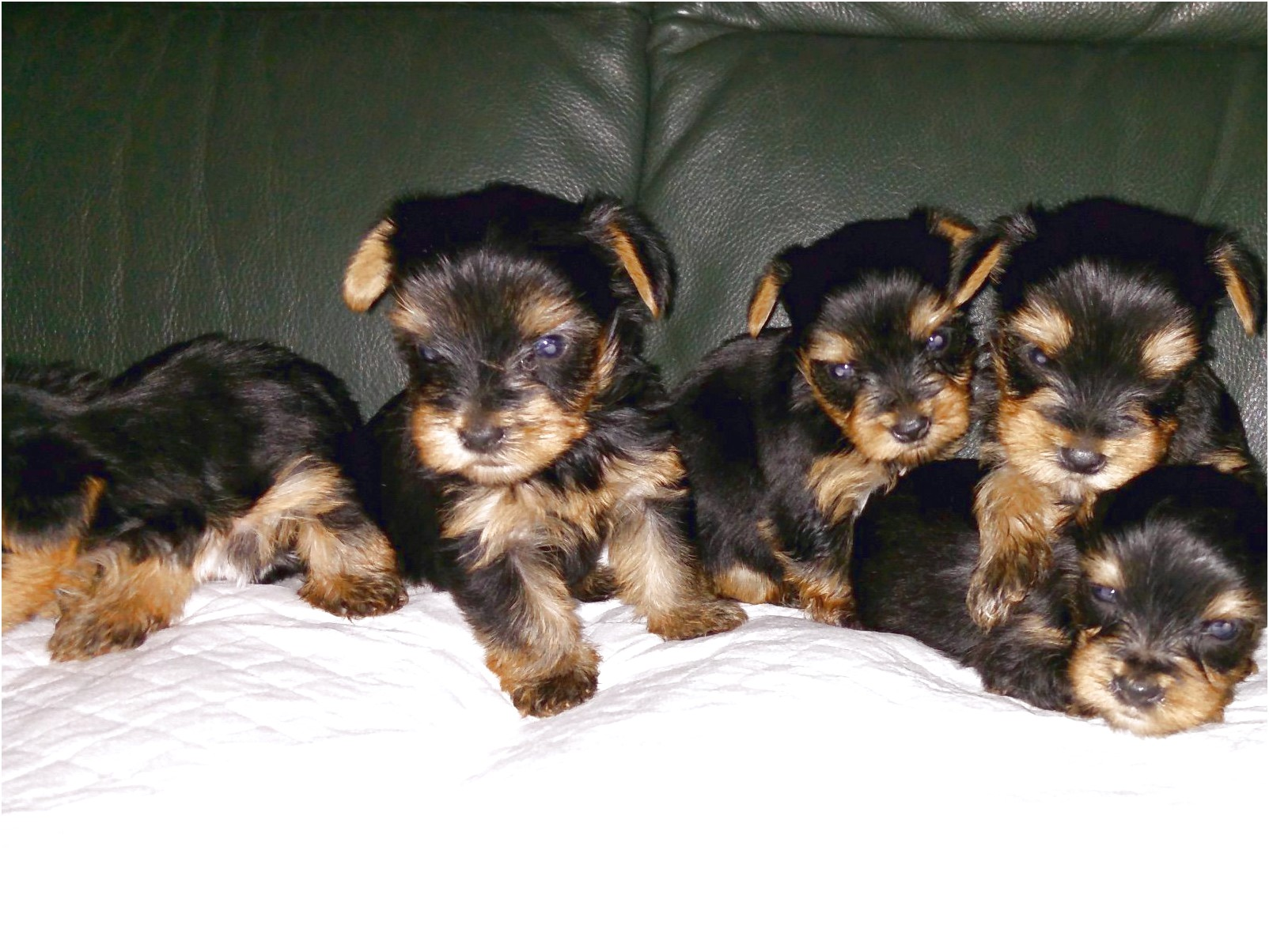 yorkshire terrier for sale lancashire