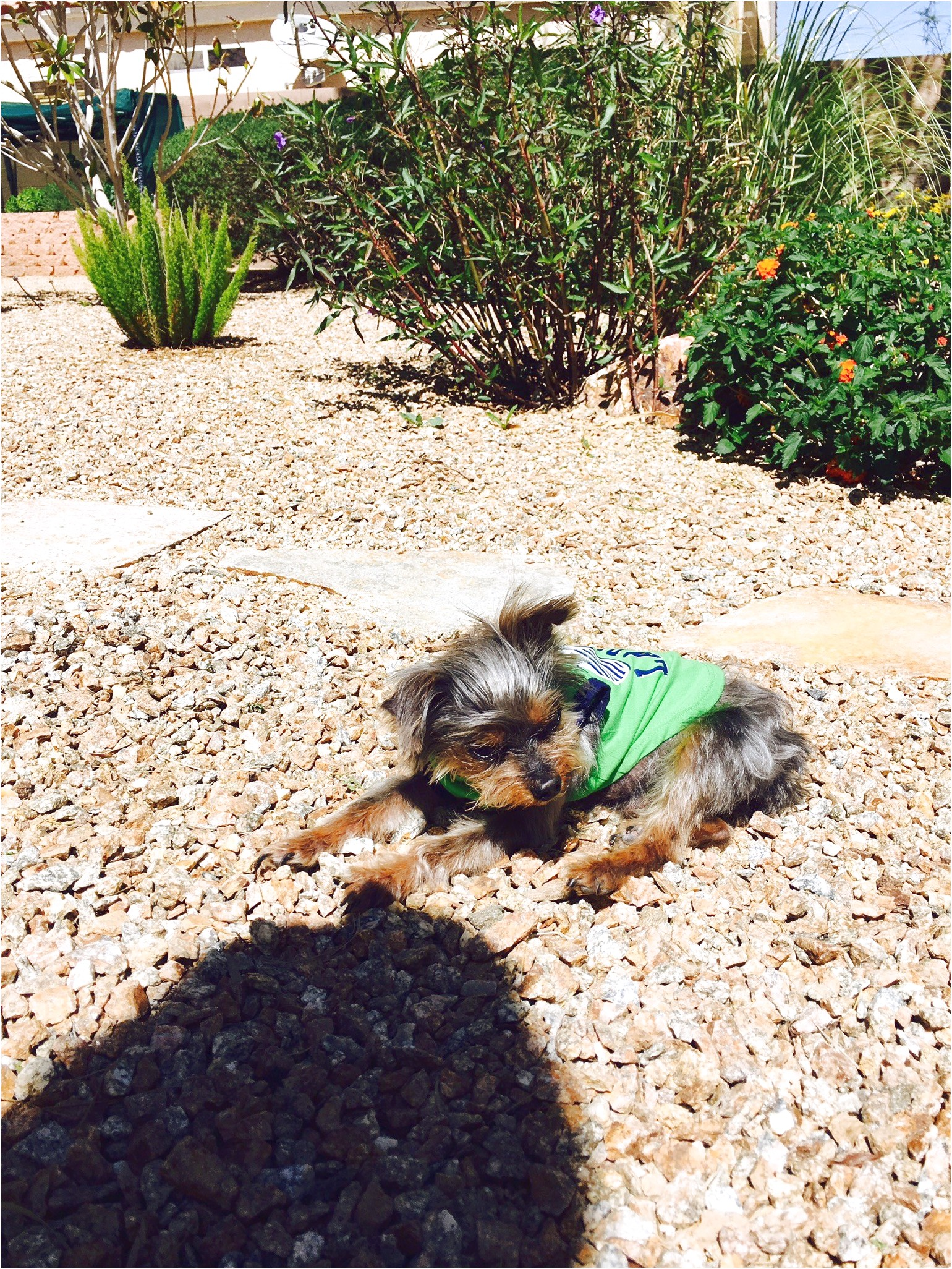 yorkshire terrier for sale las vegas