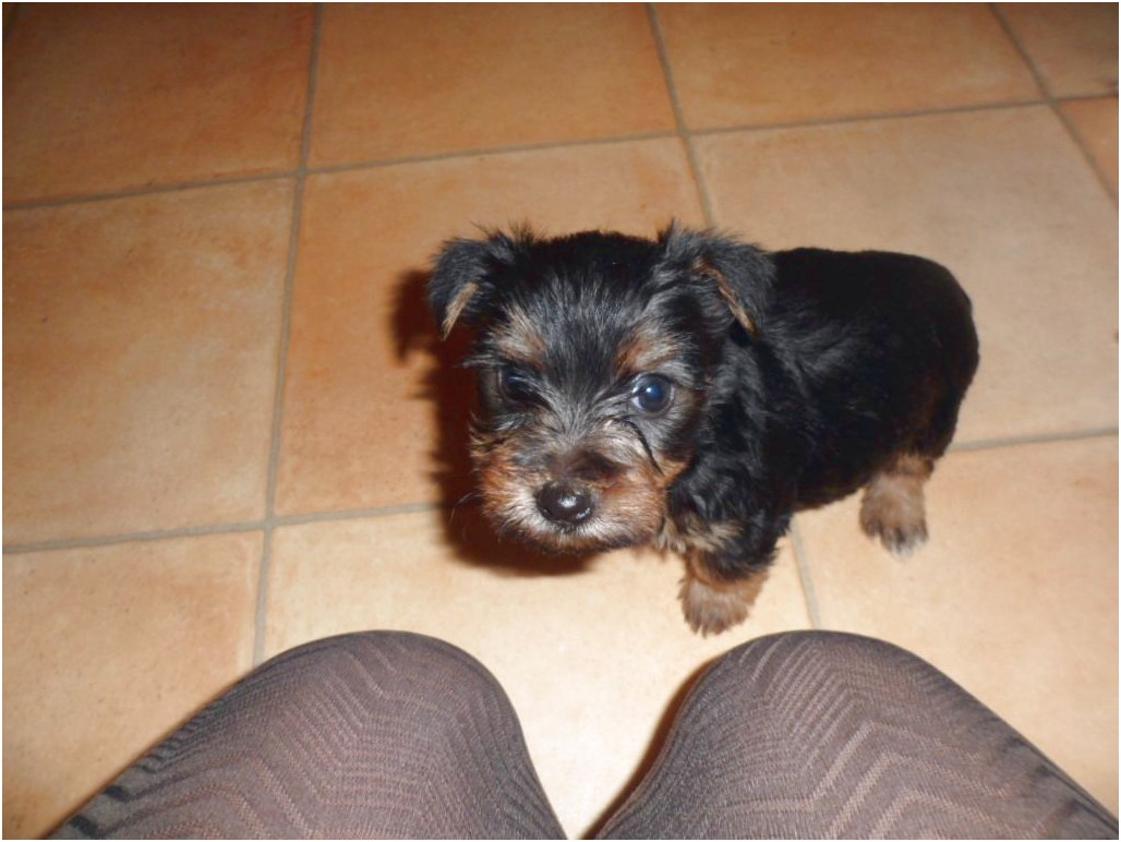 yorkshire terrier for sale lincolnshire