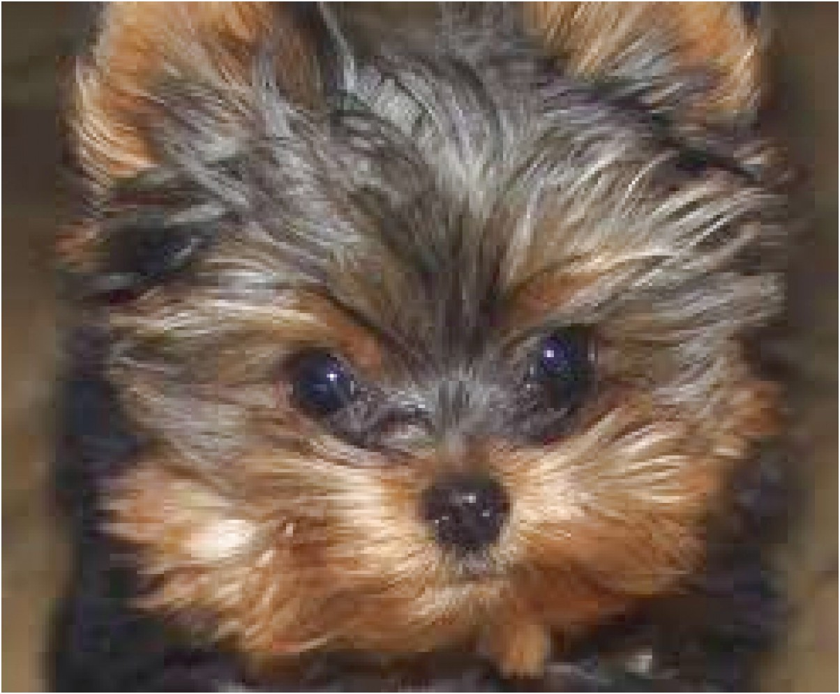 yorkshire terrier for sale louisiana