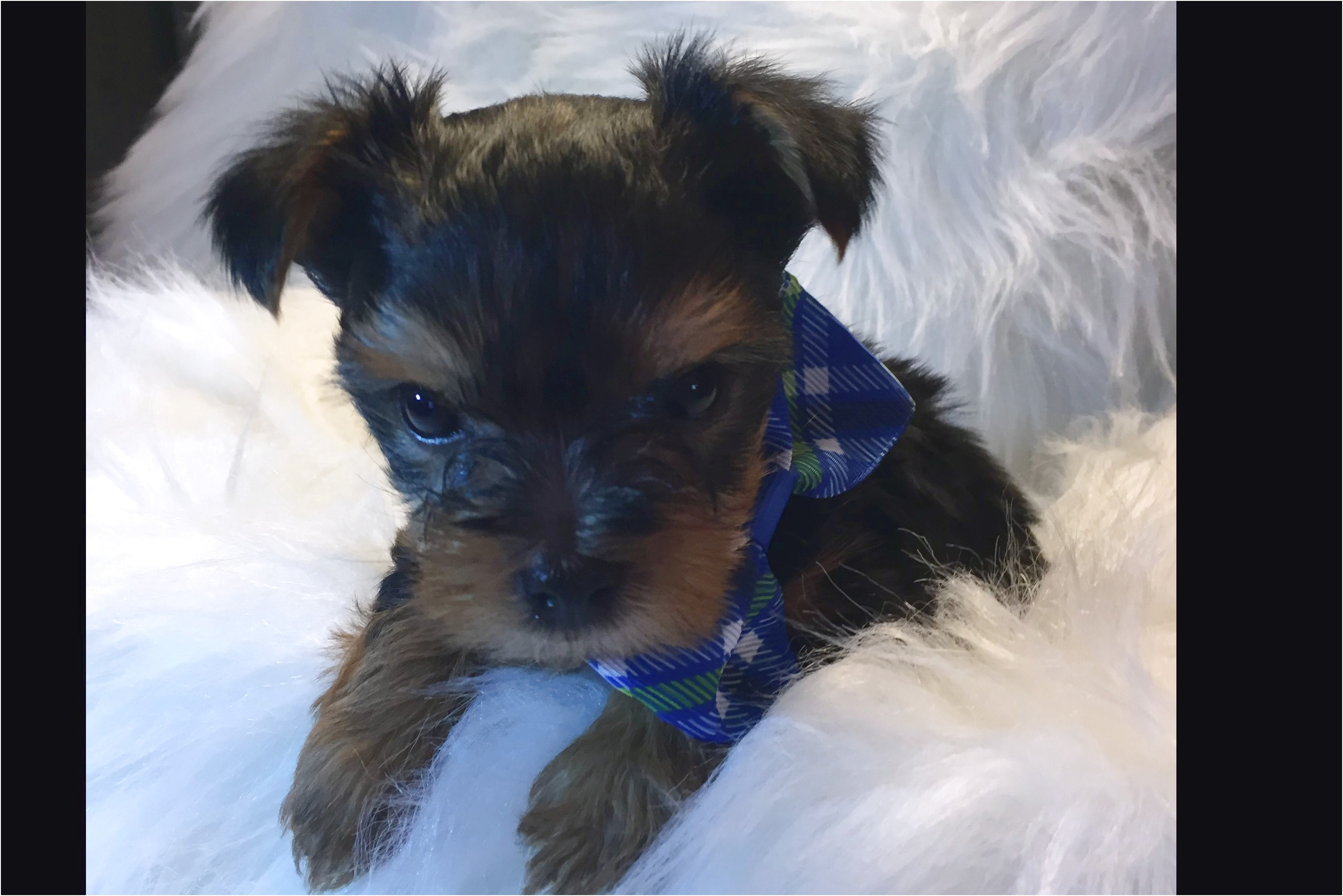 yorkshire terrier for sale louisville ky