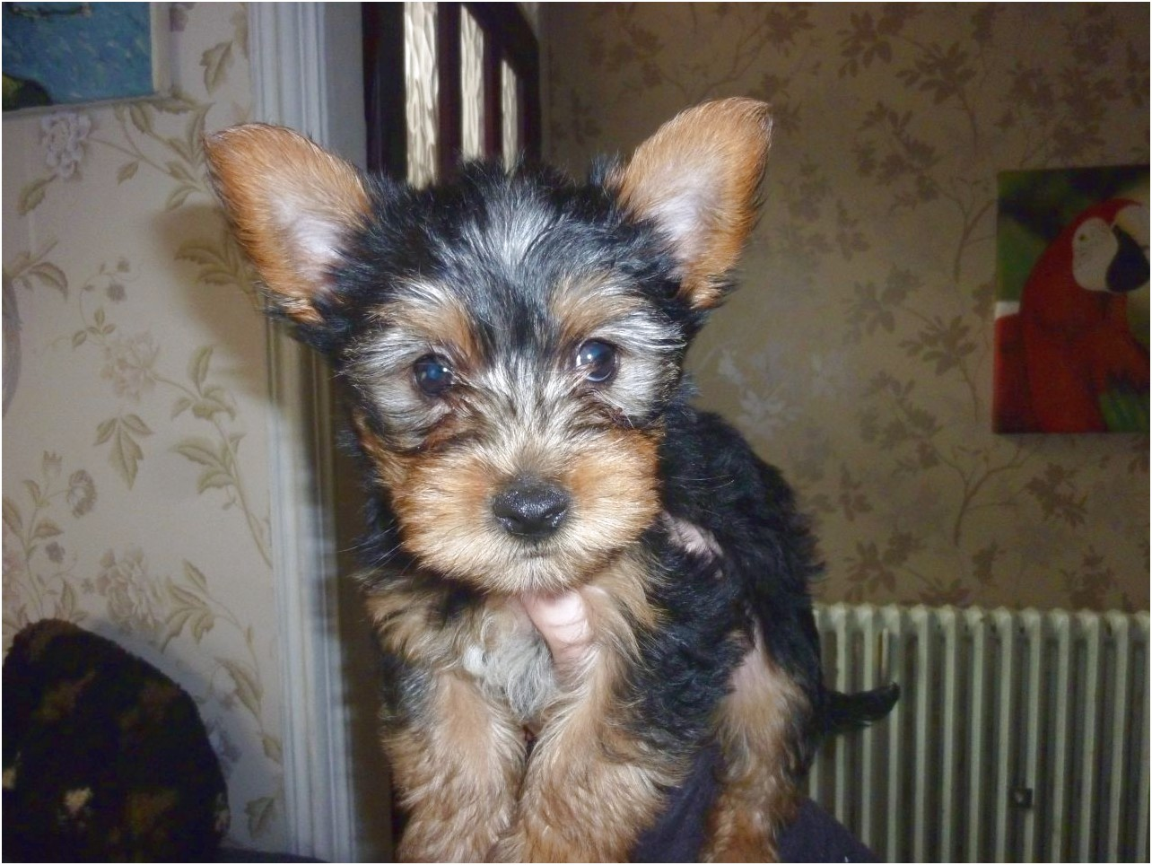 yorkshire terrier for sale merseyside
