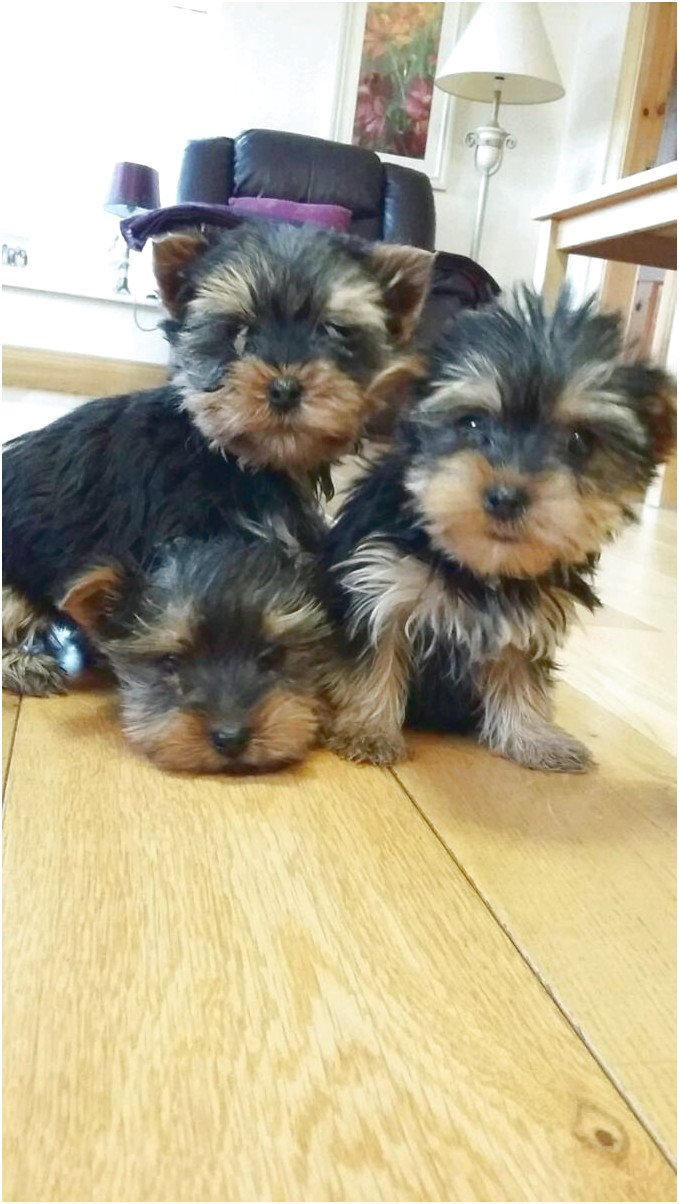yorkshire terrier for sale northern ireland