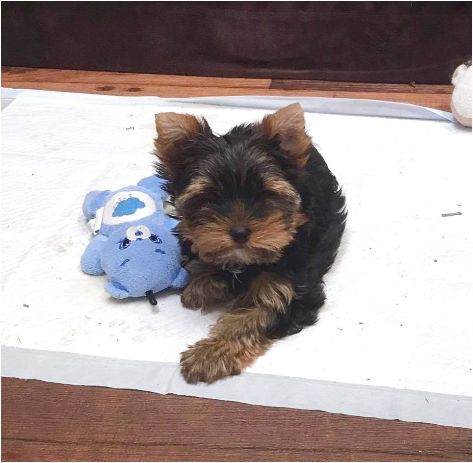 yorkshire terrier for sale orange county