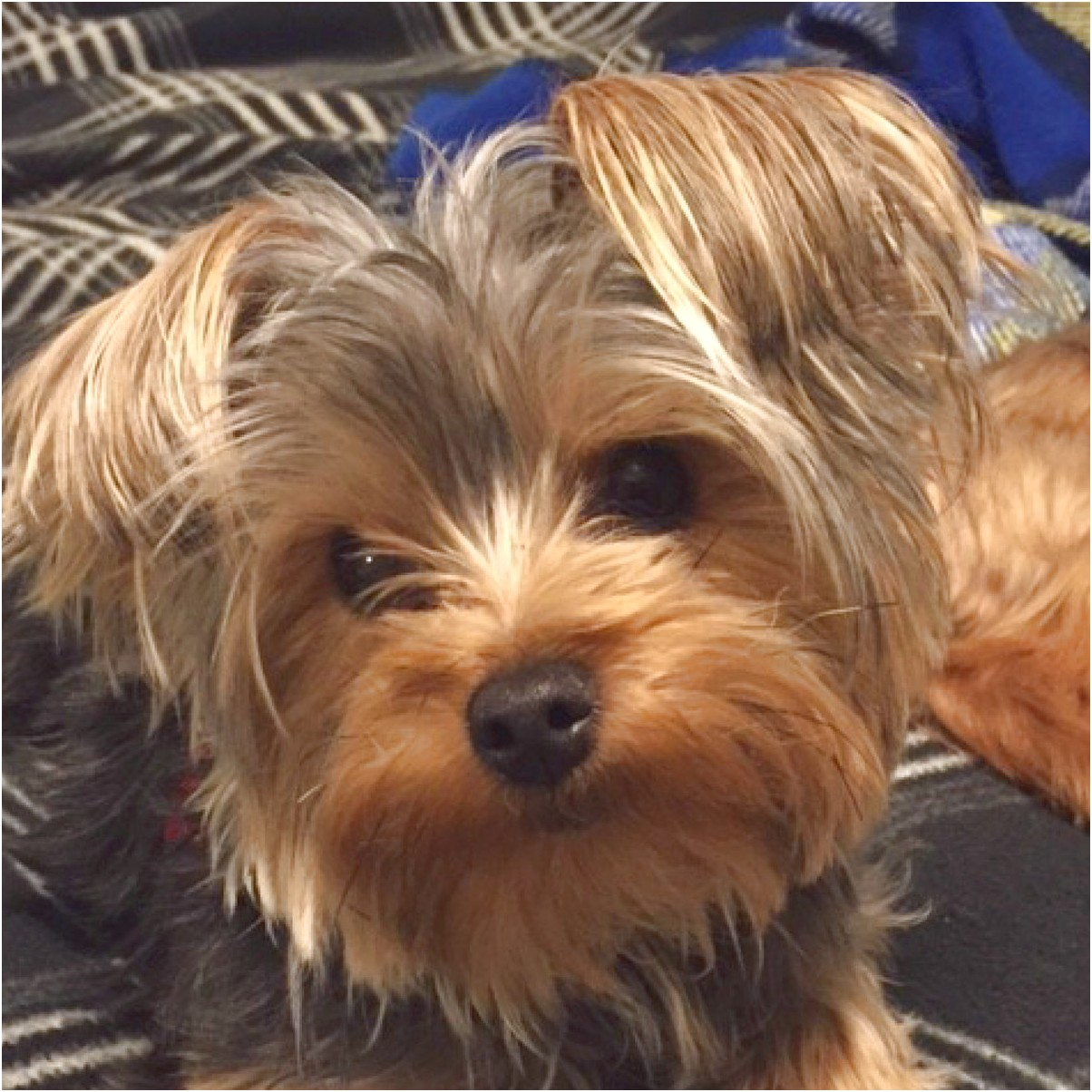 yorkshire terrier for sale ottawa