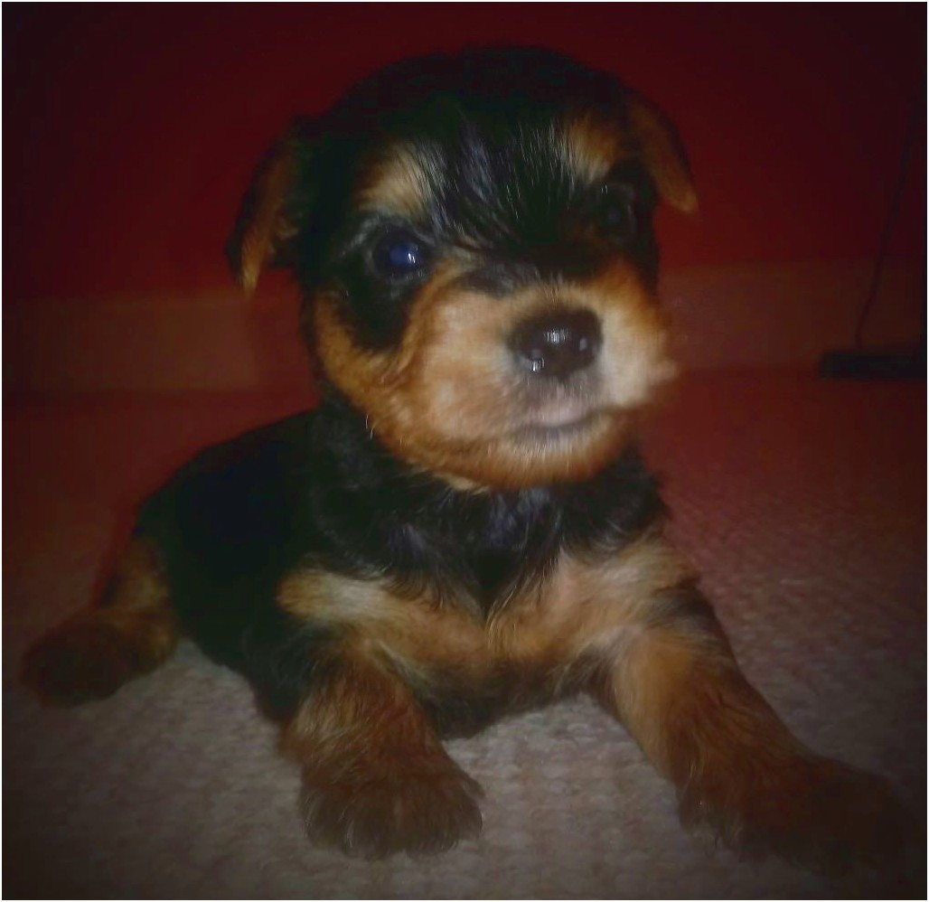 yorkshire terrier for sale perth