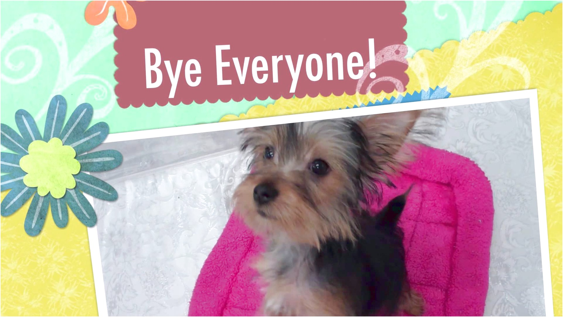 yorkshire terrier for sale qld