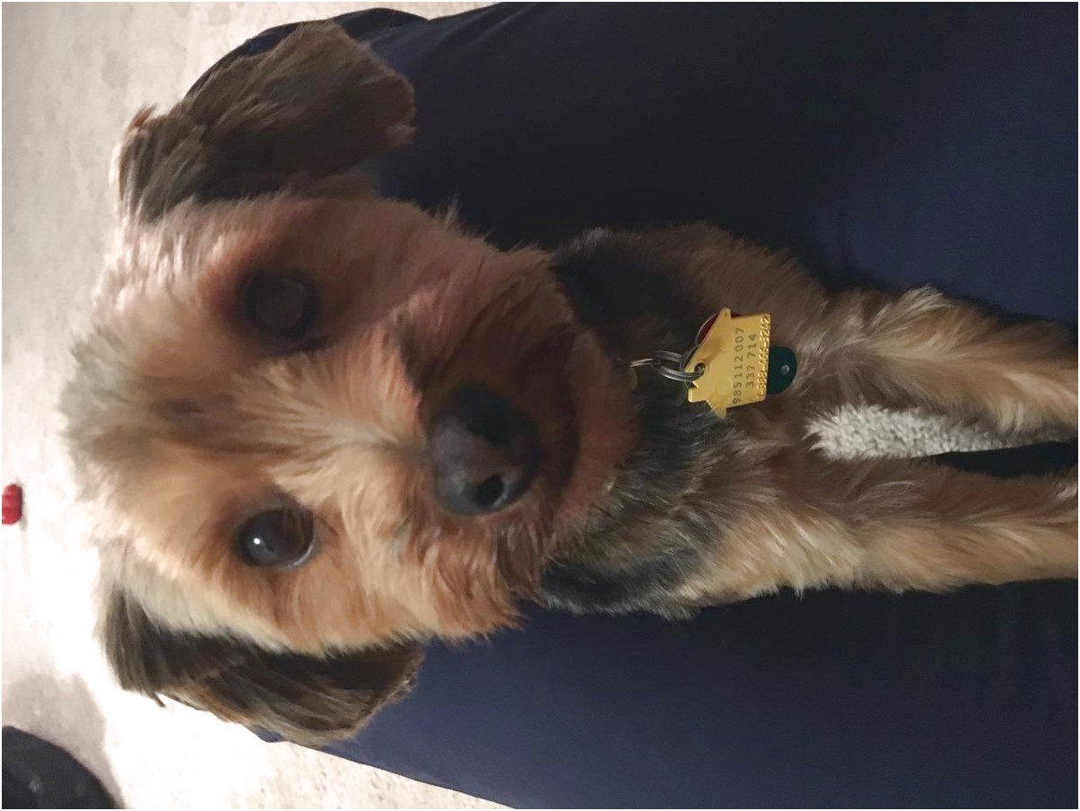 yorkshire terrier for sale raleigh nc
