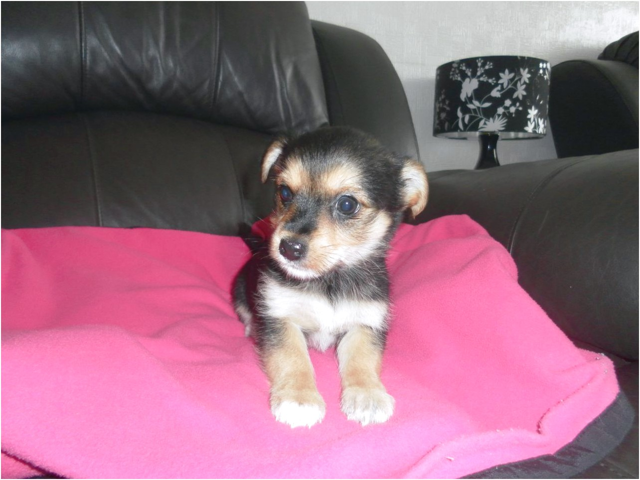 yorkshire terrier for sale reading