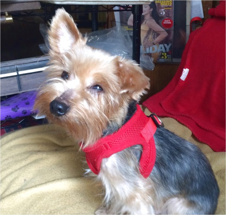 yorkshire terrier for sale reno nv