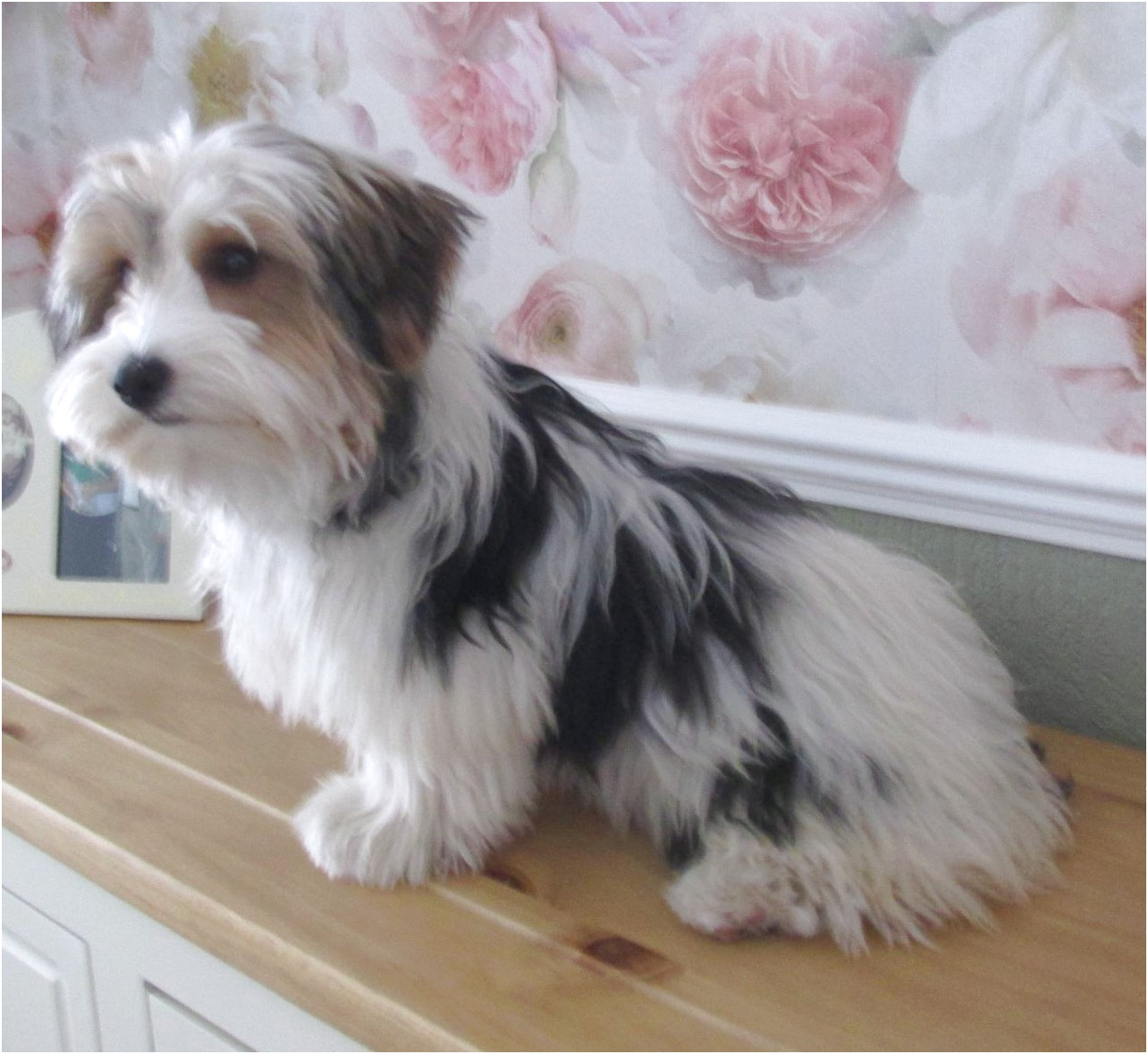 yorkshire terrier for sale rotherham