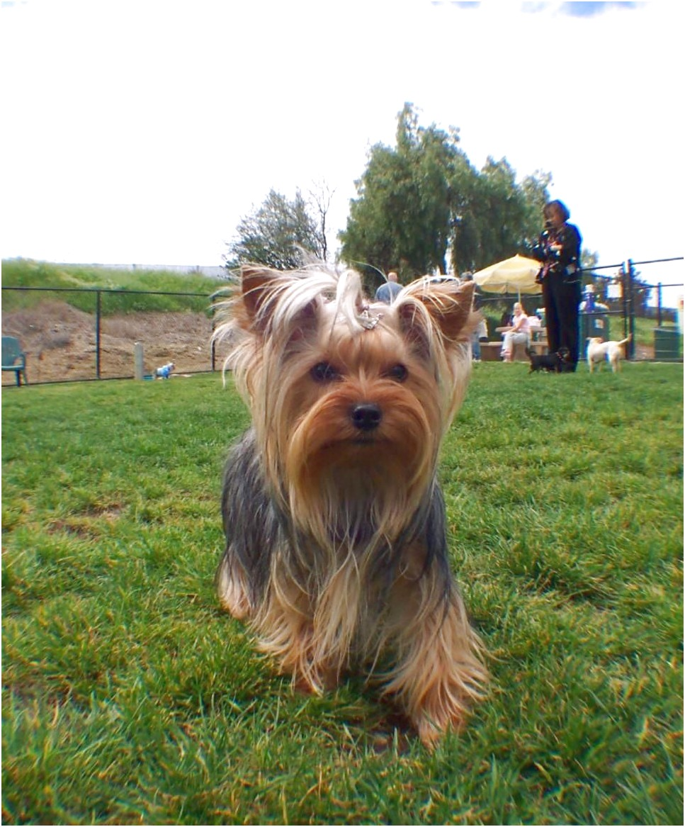 yorkshire terrier for sale san diego
