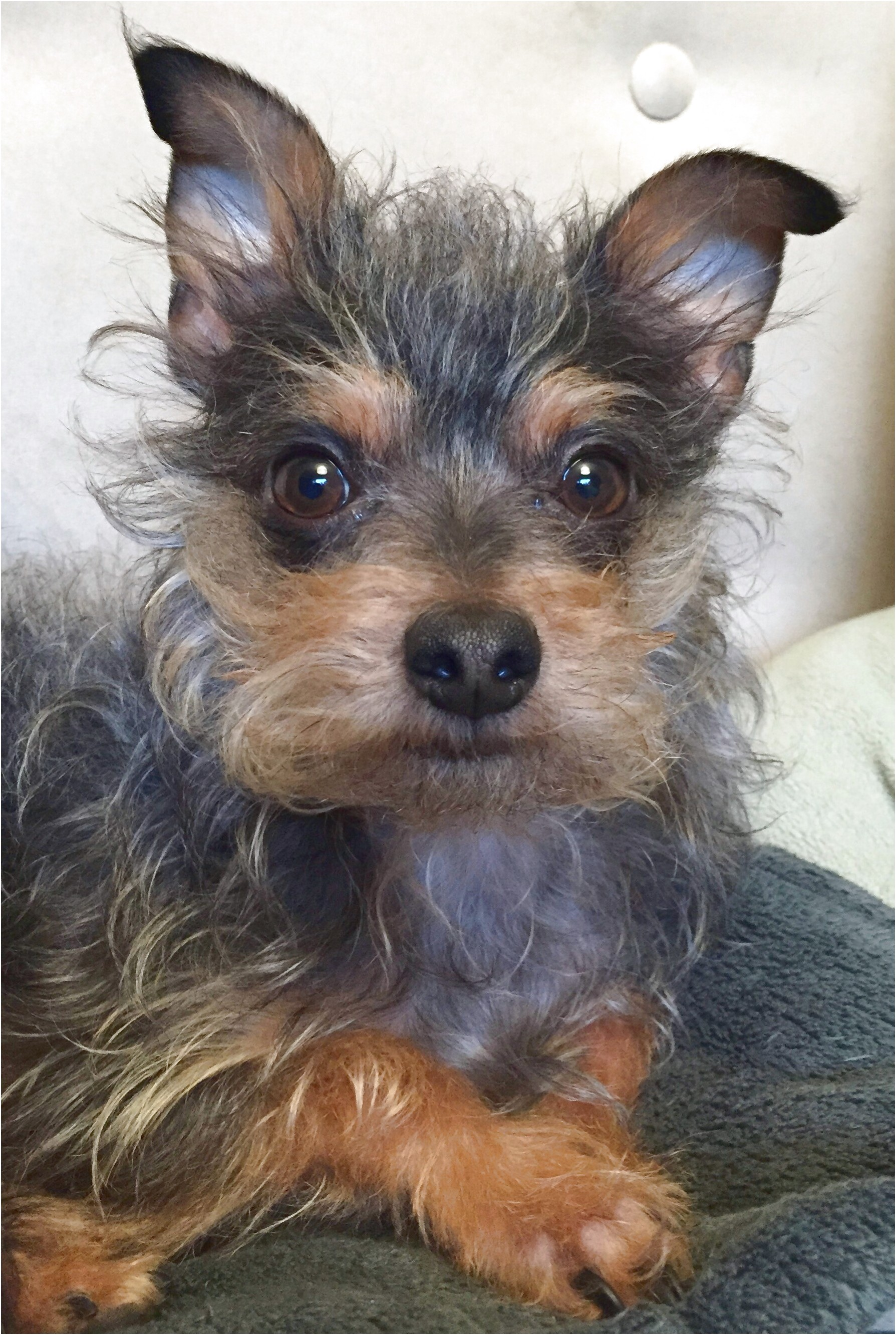 yorkshire terrier for sale seattle