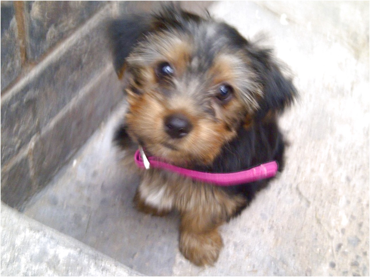 yorkshire terrier for sale solihull