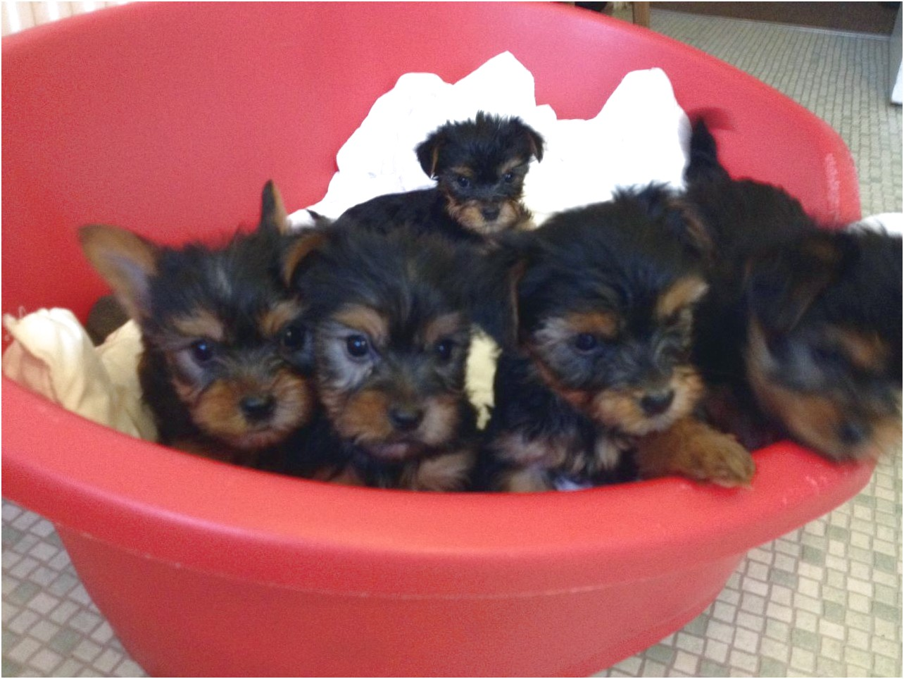 yorkshire terrier for sale swansea