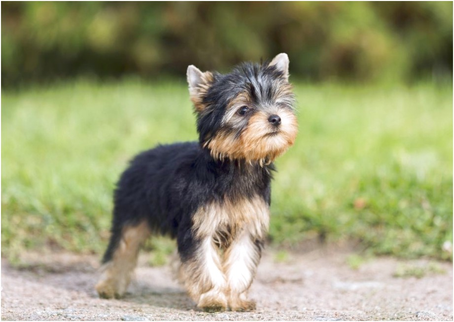 yorkshire terrier for sale uk