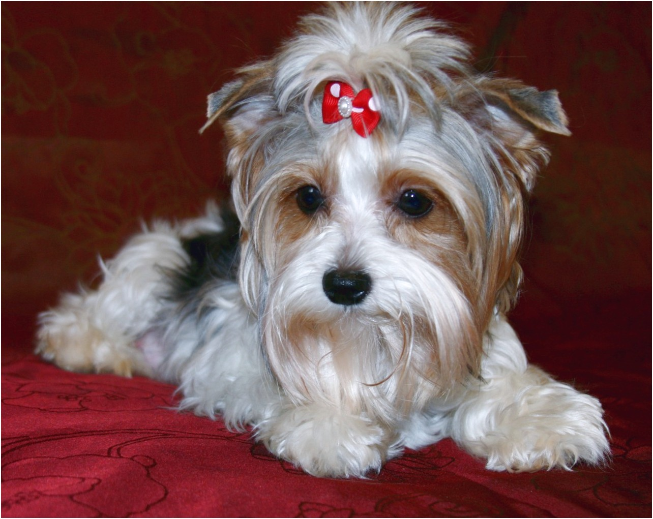 yorkshire terrier for sale vancouver wa