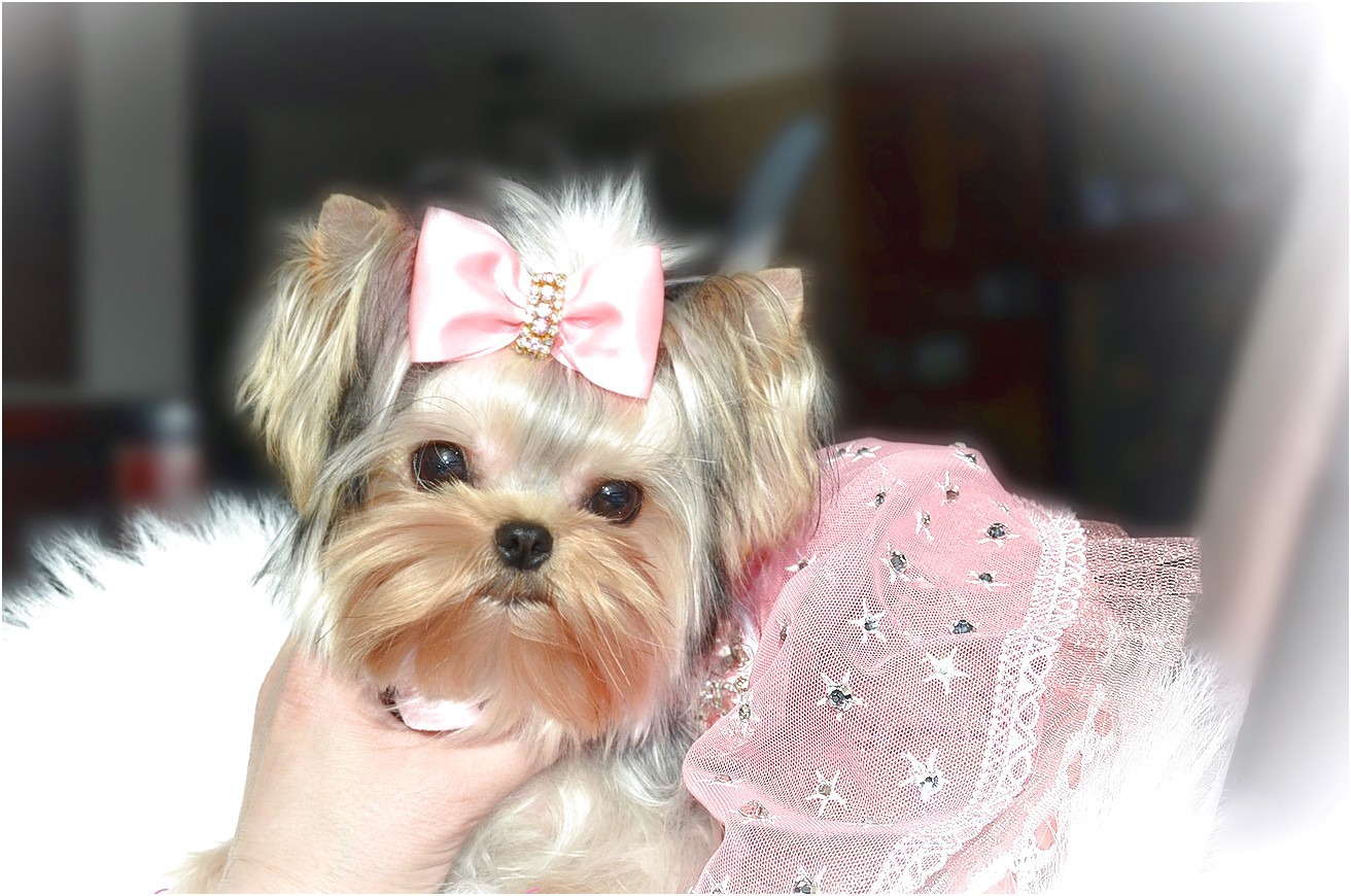 yorkshire terrier for sale vancouver