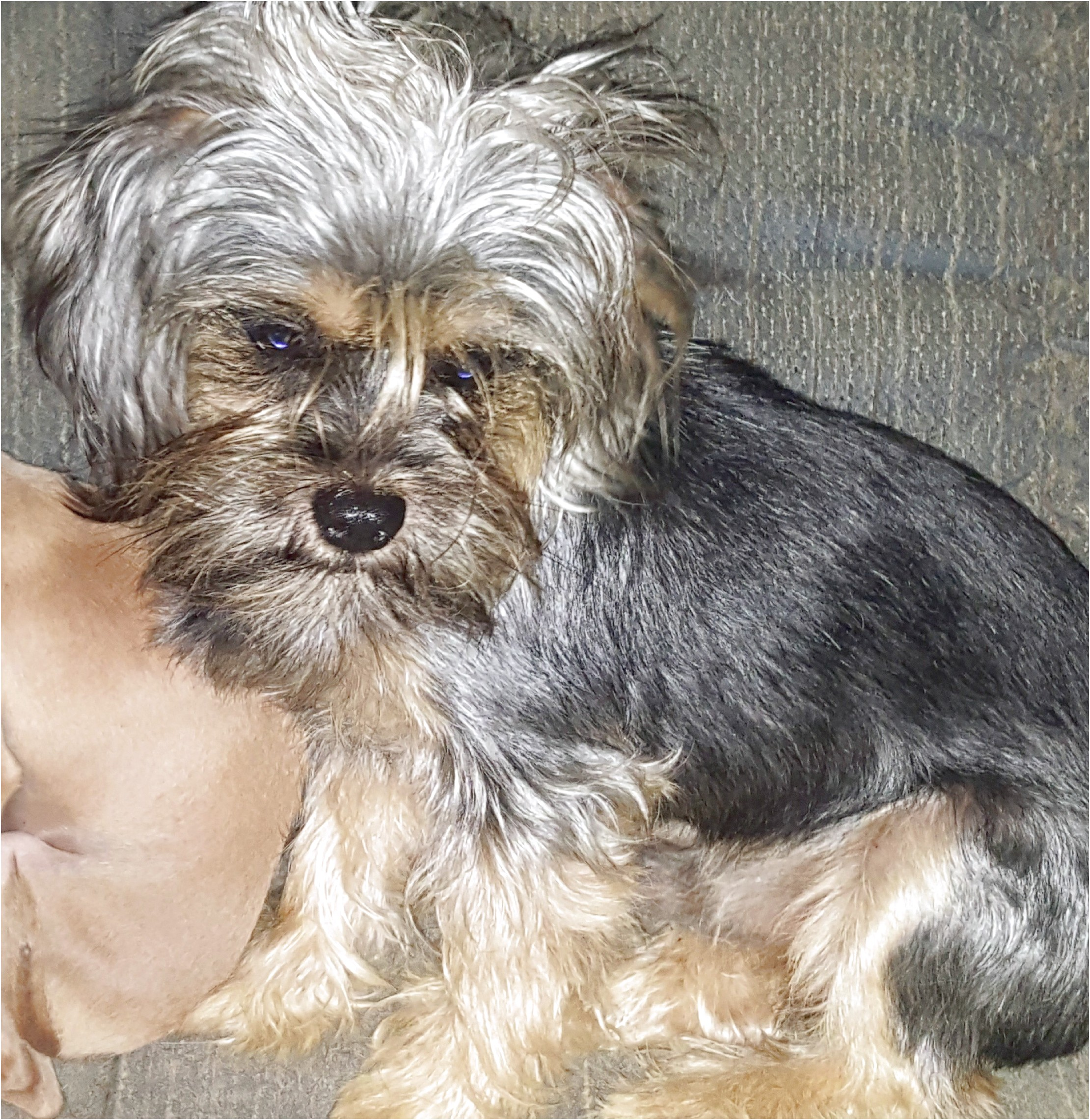 yorkshire terrier for sale vermont