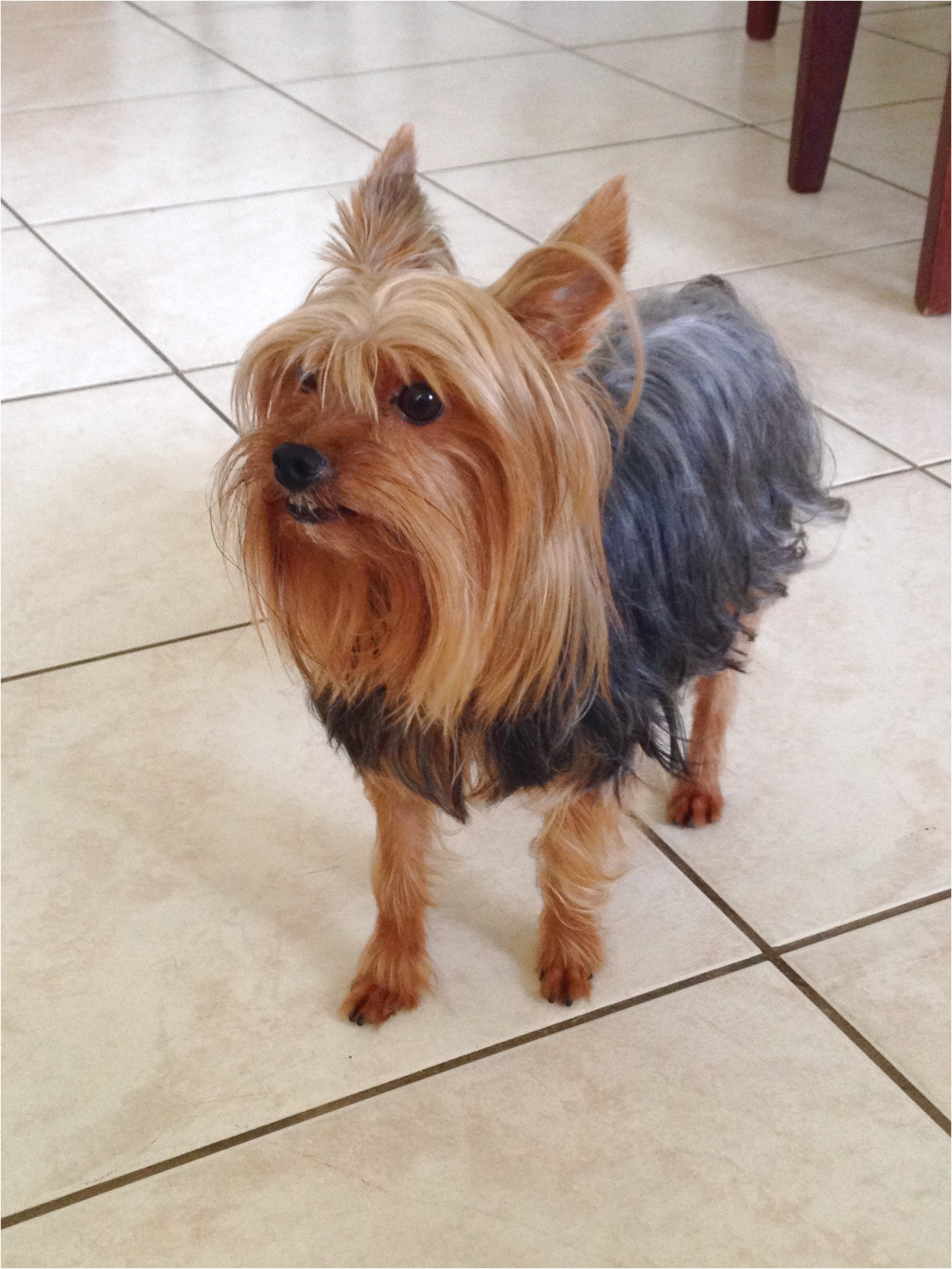 yorkshire terrier for sale vic